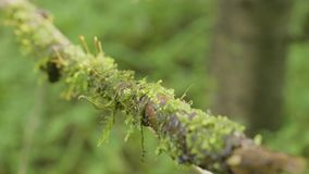 Tree root covered with moss old winding liana close-up blurred forest background natural texture. A branch with green. And turquoise moss among the branches stock footage