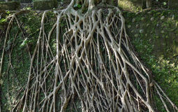 Tree root covered stone wall Stock Photo