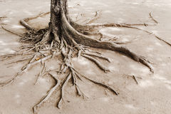 Tree root on dried land Royalty Free Stock Photo