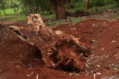 Tree root dug out of the ground royalty free stock photography