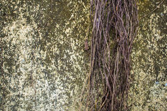 Tree root on the full with moss concrete wall. stock photo