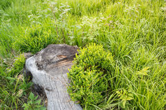 Tree root in the grass. Old tree root in the green grass Stock Photo
