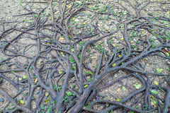 Tree root Royalty Free Stock Photography