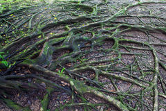 Tree root. Green tree root detail is background Royalty Free Stock Images