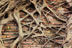 Tree root growth on the brick wall Royalty Free Stock Images