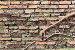 Tree root growth on the brick wall Stock Photo