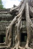 Tree root hangs over temple wall Stock Photos