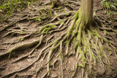 Tree root. In Hoyt Arboretum at Washington park Oregon Royalty Free Stock Images