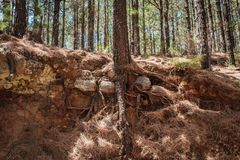 Free Tree Root In Forest Ground Cross Section - Pine Tree Forest Royalty Free Stock Photo - 128659995