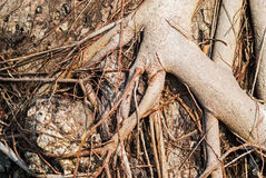 Tree  root in nature place Royalty Free Stock Image