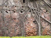 Tree root on the old brick wall Royalty Free Stock Photos