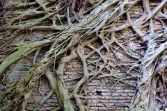 Tree Root On The Old Brick Wall. Tree Root On The Old Brick Wall Background Stock Photos
