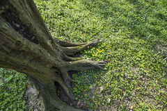 Tree root. Old on a grass filed Stock Images