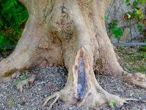 Tree root Stock Photography