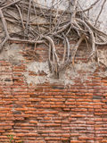 Tree root on old wall Royalty Free Stock Photo