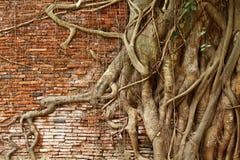 Tree root over brick wall Stock Photos
