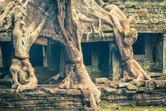 Tree root overgrowing parts of ancient Preah Khan Temple at angk Royalty Free Stock Photos