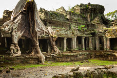 Tree root overgrowing parts of ancient Preah Khan Temple at angk Stock Photography