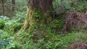 Tree root overgrown with moss and clover royalty free stock image