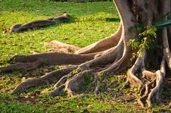 Tree root. In the park stock photo