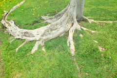 Tree root in the park Royalty Free Stock Images