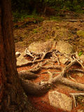 Tree Root Path Stock Photography