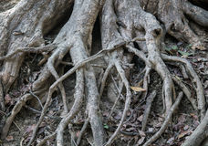 Tree root Stock Images