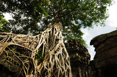 Tree root sit on a ruin ancient building Stock Images