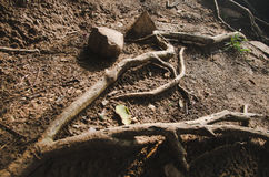 Tree root , soil. Tree root on the ground and soil background Stock Photography