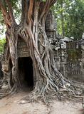 Tree root splitting and retaining entrance walls Royalty Free Stock Image