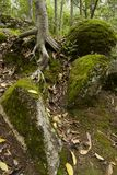 Tree root surrounded by stone boulders Royalty Free Stock Photos