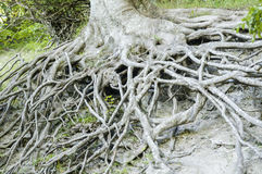 Tree Root system Royalty Free Stock Photo