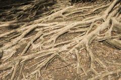 Tree root Stock Photography