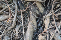 Tree root texture. Tree root network texture and background Royalty Free Stock Photo
