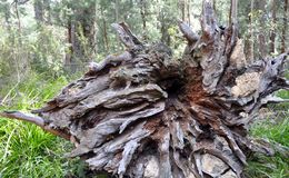 Tree Root: Walpole Wilderness. Large base of a fallen tree root with deep grooved texture with a green treed forest background in the Walpole Wilderness in Royalty Free Stock Photo