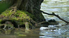 Tree Root Washed by Waves. Close up shot of green tree roots at the lake shore stock video