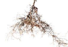 Tree root. On white background Stock Image