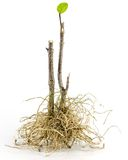 Tree root. On white background Stock Photos