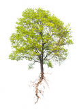 Tree with a root on a white Stock Image