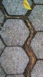 Tree root widens crack between polygonal pavers. Survivalist tree grows roots where rainwater collects, between the hexagonal paving stones of a NYC sidewalk Royalty Free Stock Image