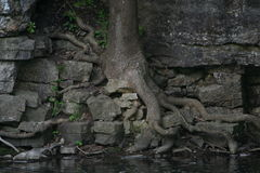 Tree rooted into rocks along river. A tree growing out of the rocks along the river with very twisted roots Royalty Free Stock Photo