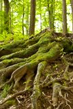 Tree roots. Tree root covered with moss in a forest Stock Image