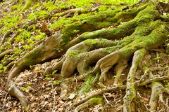 Tree roots. Tree root covered with moss in a forest Royalty Free Stock Photos