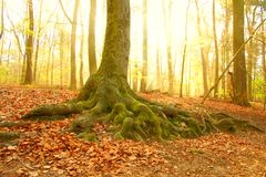 Tree roots. Old tree in the morning sun Royalty Free Stock Photography