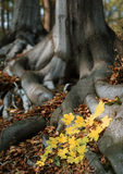 Tree roots. In autumn forest landscape Stock Photos