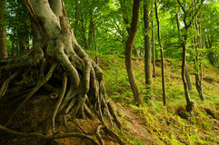 Tree roots. Old wizard tree with exposed roots, beautiful  shot of mystic forest taken during summer Stock Image