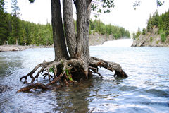 Tree Roots. Growing out of River Stock Image