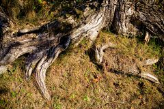 Tree roots. Gnarled and weatherbeaten, partially exposed roots of an old tree Royalty Free Stock Images