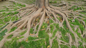 Tree roots. A big tree roots in soil stock image