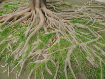 Tree roots. A big tree roots in soil stock photo